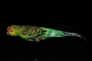 Stuffed Green Budgie Daily Rental