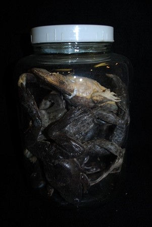 Specimen Jar with  Rubber Frogs